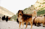 dog of sheep