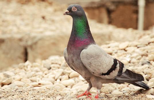 beautiful dove