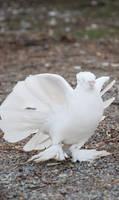angel Dove