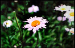 ghosted daisies