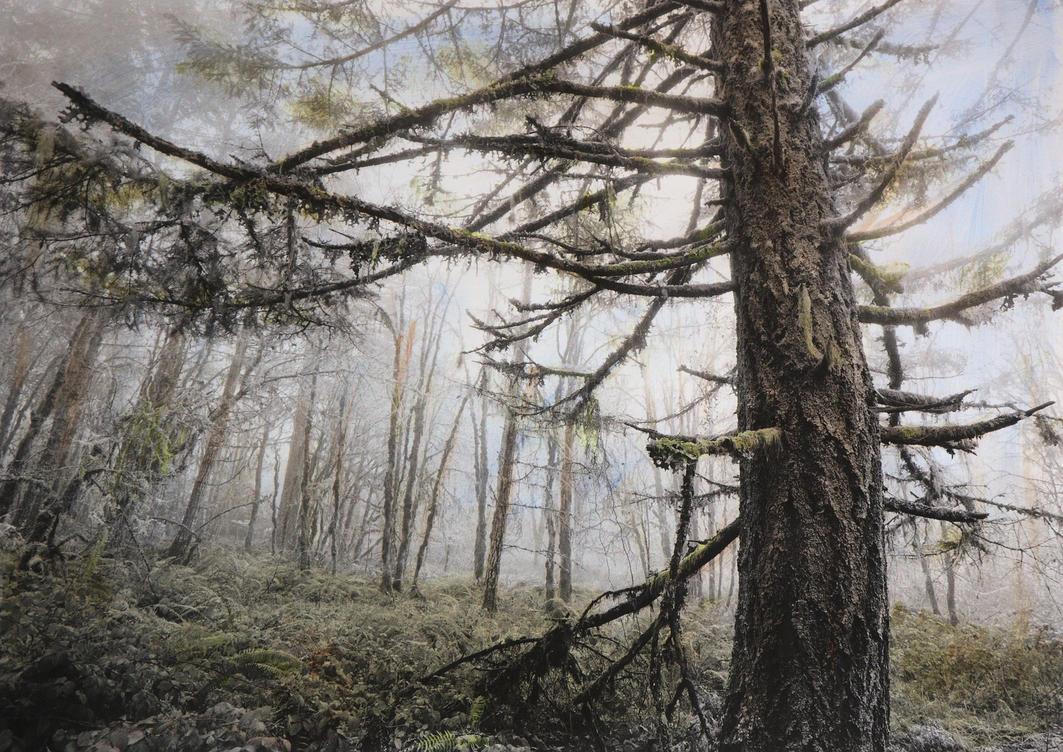 Bob-Keefer-Fir Forest 2016.2 by BobKeeferPhoto