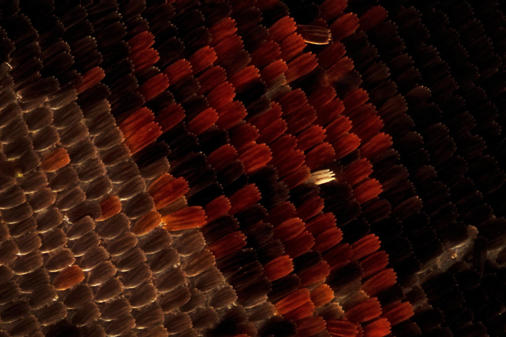butterfly scales by pfrancke