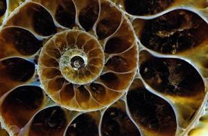 the Ammonite by pfrancke