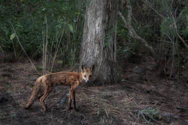 lanky ragged fox by pfrancke