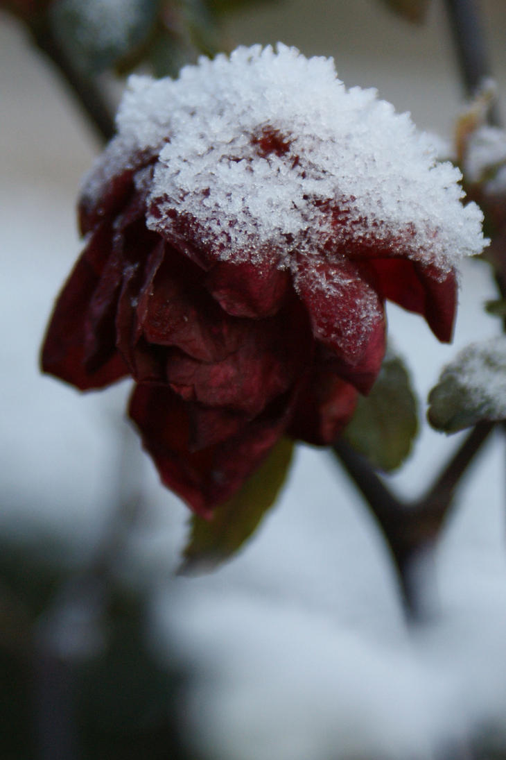 Winter rose by picture-melanie