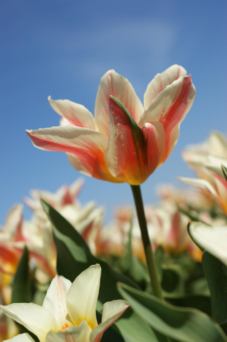 Tulip 1 by picture-melanie