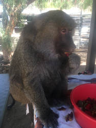 Chrissy the Baboon