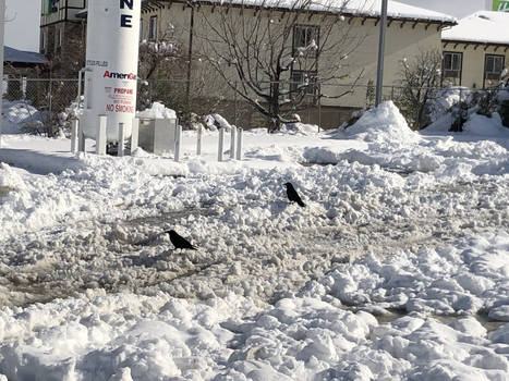 Crows on the Snow