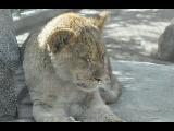 Lion cub by Razgar