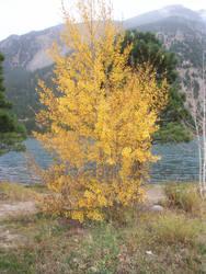 Aspen tree in the fall by Kagezashi-Umbreon