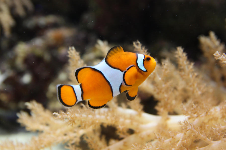 Clown fish by plasmapl on deviantart for Closest fish store