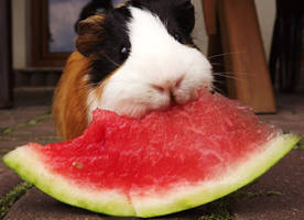 watermelon and guinea pig by little-irene