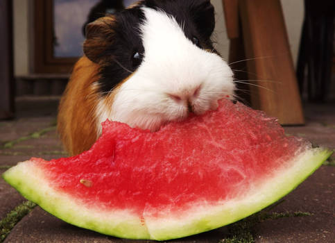 watermelon and guinea pig