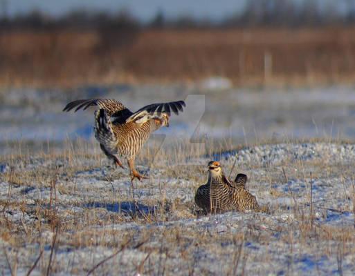 Sparring Prairie Chicken Males
