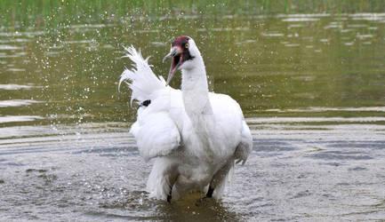 Bathing Whooper