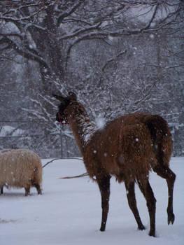 Pichitanka in snow