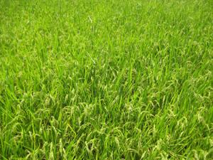 Japanese Grass