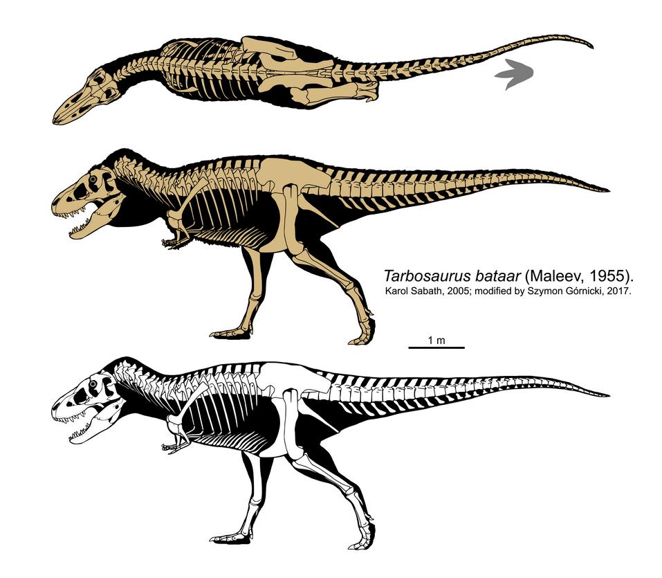 Tarbosaurus bataar skeleton (2017) by Szymoonio