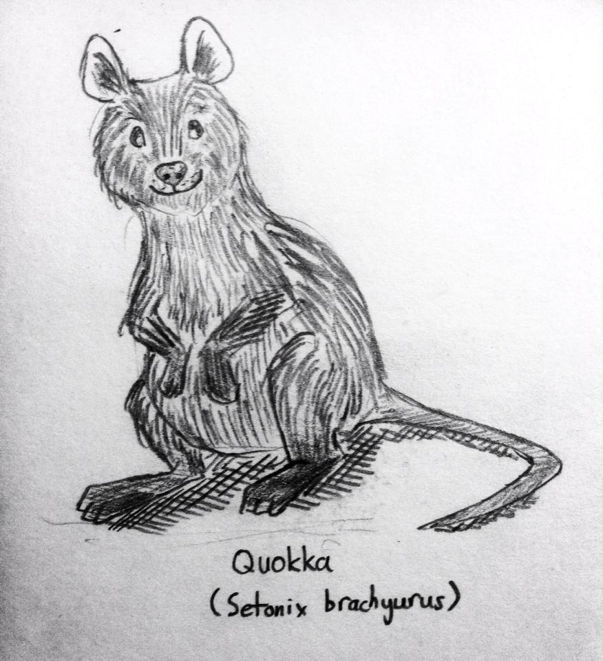Quokka Sketch By Donnietu On DeviantArt