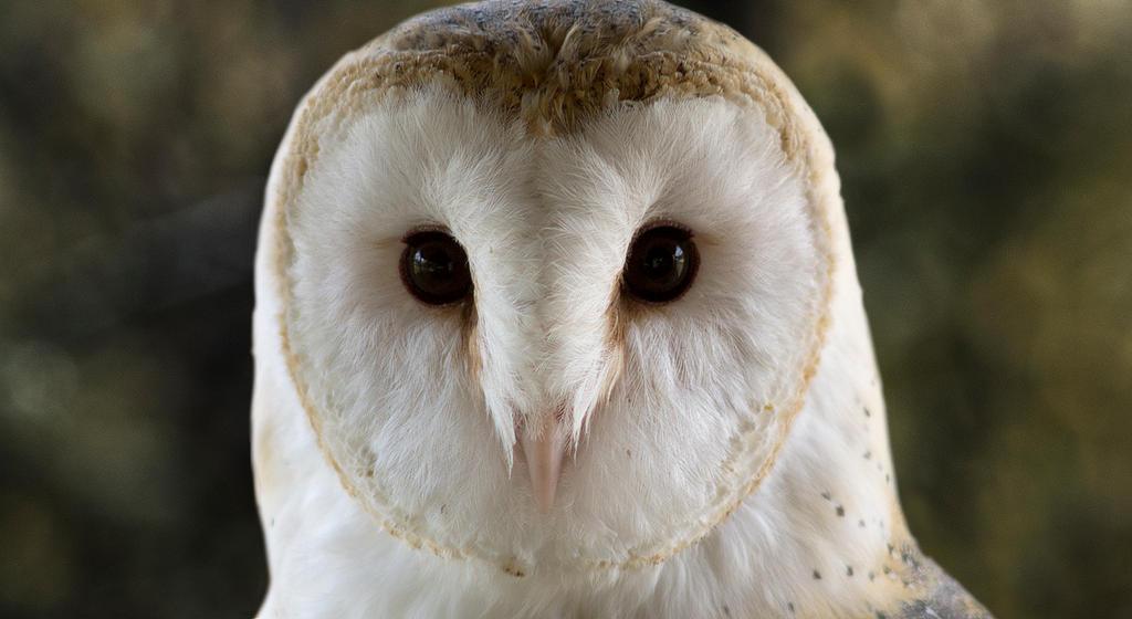 Barn Owl by egypt04