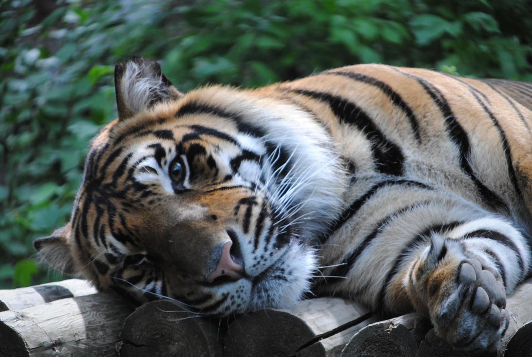 Eye Of The Tiger by Joe-Maccer