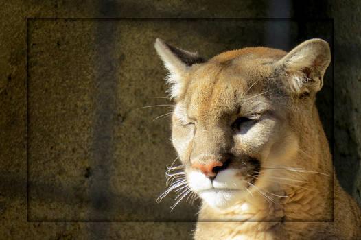 Captive Mountain Lion