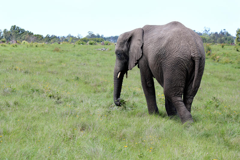Elephant grazing by Andysin55