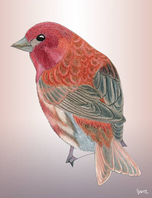 The Supposedly Purple Finch by Y9ssra