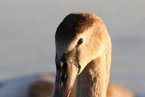 Pollrone Swan