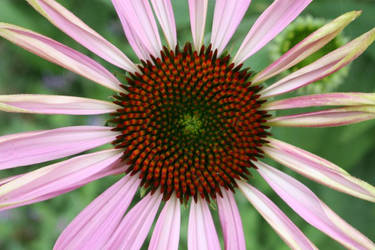Echinacea Flower by bangophotos