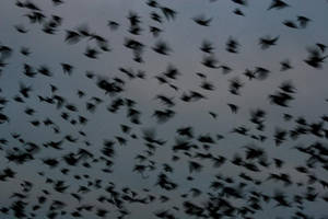 Starlings dance by bangophotos