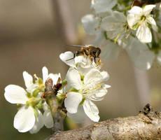 Plum Flower Wasp by bangophotos