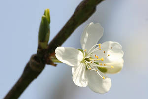Plum Flower by bangophotos