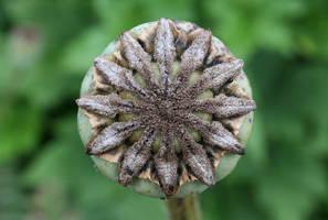 Poppy pod by bangophotos