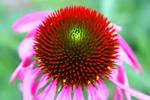 Echinacea fire