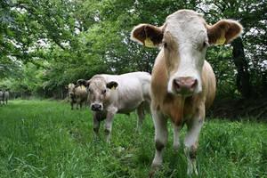 Curious Cows by bangophotos