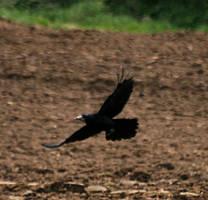 King Crow by bangophotos