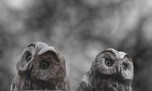 Owls by AshenSorrow