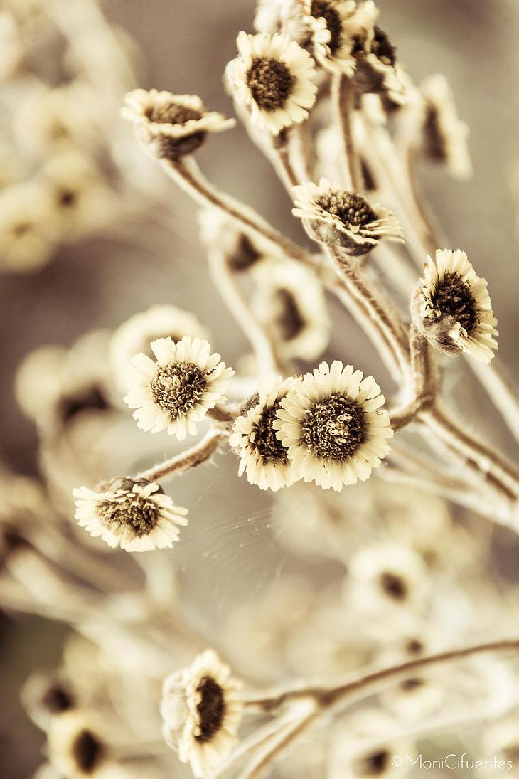 Paramo's flower. by romanova