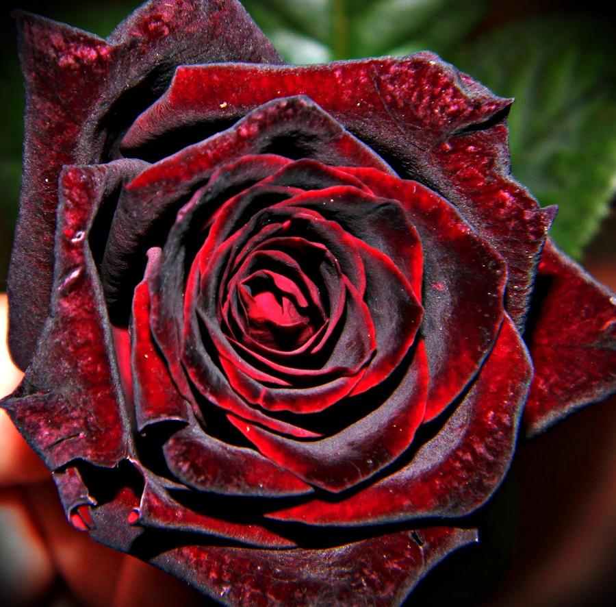 Queen of flowers by CapricornElegy