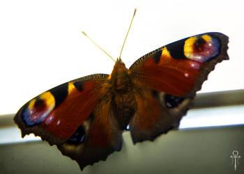 Butterlfy by Rolmopsis