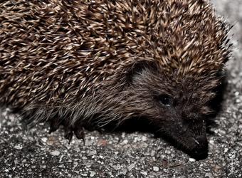THE Hedgehog 2 by Rolmopsis