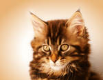 Kimba Portrait - Maine Coon Cat