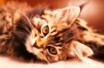 Silver Portrait - Maine Coon Cat