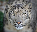 Look into my eyes!  -  Snow Leopard Portrait