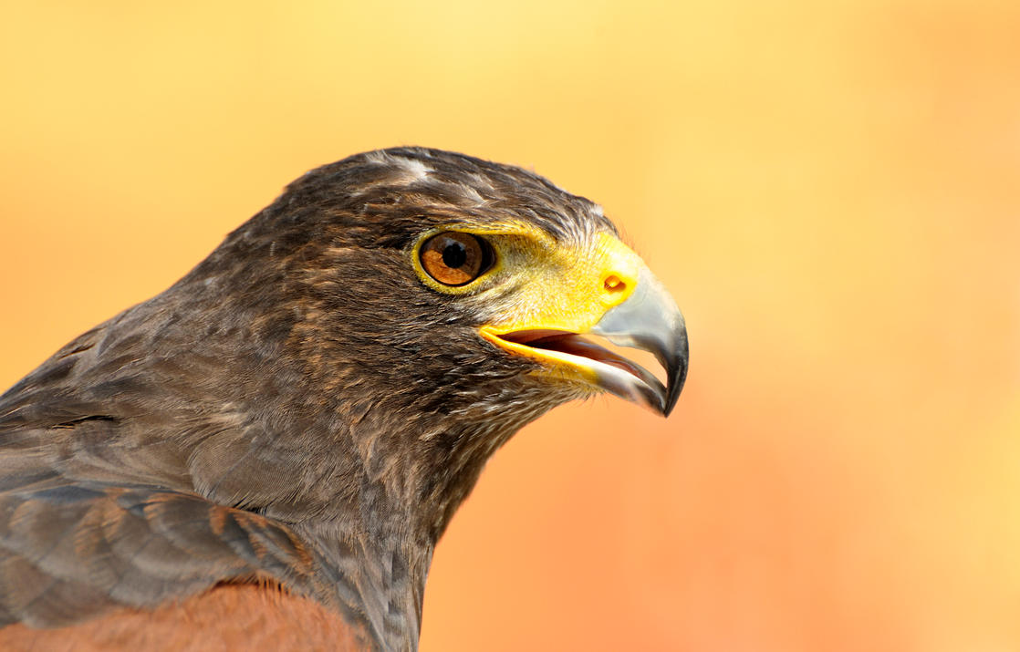 Golden Eye  -  Harris Hawk Portrait by Manu34