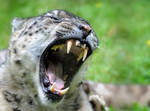 The Powerful Snow Leopard