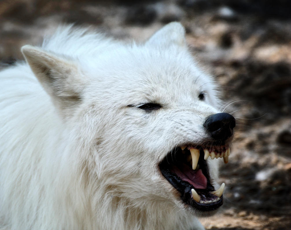 angry arctic wolf coloring pages - photo#33