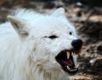 White Wolf Warrior