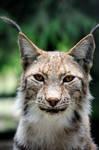 Eye Contact with Lynx